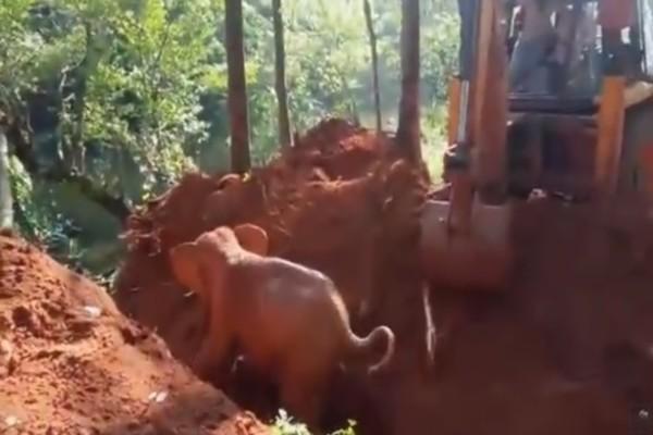 Άνθρωποι έσωσαν ένα μικρό ελεφαντάκι από χαντάκι! Τότε οι ελέφαντες έκαναν κάτι που τους ξάφνιασε...