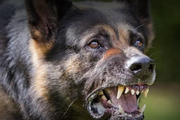 Τρόμος στον Πύργο! Σκύλοι επιτέθηκαν στα ίδια τους τα αφεντικά... Ο λόγος αδιανόητος!