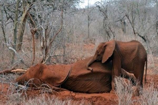 Λαθροκυνηγοί πυροβόλησαν αυτόν τον ελέφαντα...Η αντίδραση του μωρού του θα σας συγκινήσει!