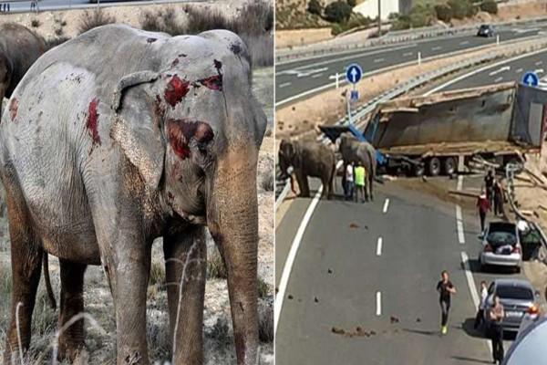 Τραγικό! Ελέφαντας τσίρκου πέθανε και άλλοι τραυματίστηκαν ενώ τους μετέφεραν για το show!