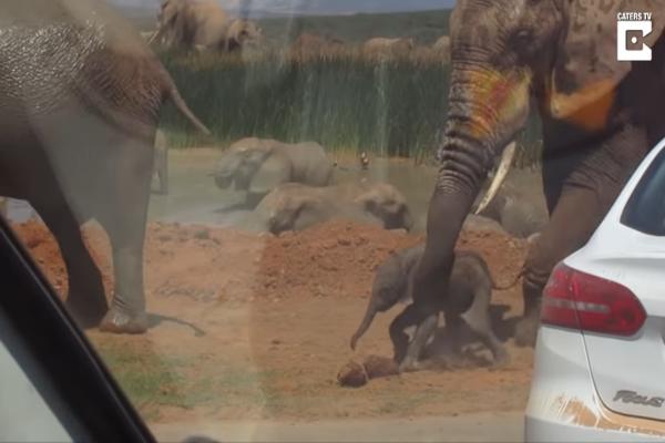 Φρίκη! Αυτός ο ελέφαντας από τα νεύρα του κακοποίησε το μικρό του ελεφαντάκι... Μόλις το ακούσετε να ουρλιάζει θα λυγίσετε!