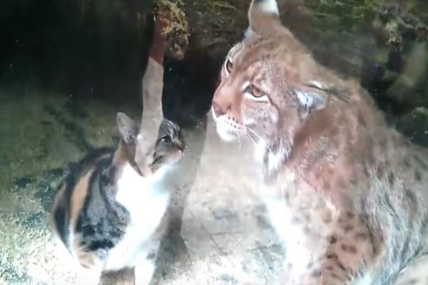 Μια γάτα πέφτει στο κλουβί ενός εξαγριωμένου λύγκα! Ενώ νόμιζαν ότι θα την κατασπαράξει τελικά...