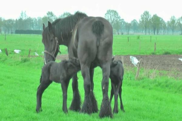 Άλογο γεννά σπάνια δίδυμα. Λίγες μέρες μετά αυτό που καταγράφει η κάμερα, κάνει τον γύρο του διαδικτύου!