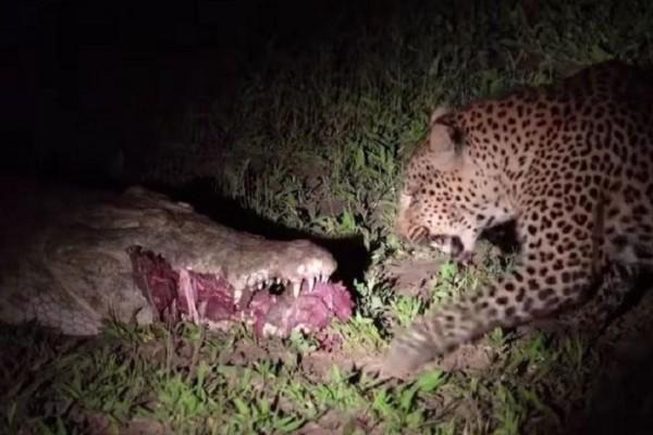 Κροκόδειλος απολαμβάνει το φαγητό του και ξαφνικά εμφανίζεται μία λεοπάρδαλη... Η συνέχεια θα σας αφήσει με το στόμα ανοικτό! (Video)