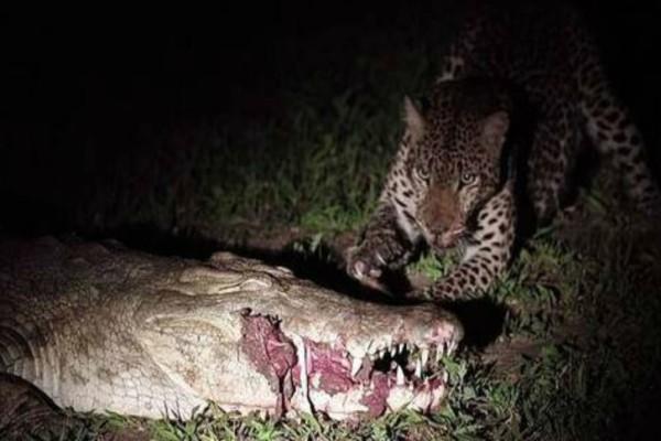 Αυτός ο κροκόδειλος κοιμάται όταν ξαφνικά τον πλησιάζει μια τίγρη. Η συνέχεια κόβει την ανάσα!
