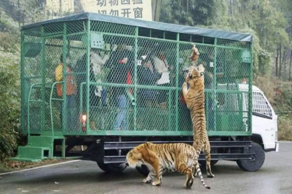 Λιοντάρια ανεβαίνουν πάνω σε φορτηγό με κόσμο. Αυτό που γίνεται στη συνέχεια θα σας κόψει την ανάσα!
