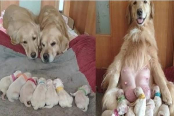 Σκυλάκια μαμά και μπαμπάς Γκόλντεν Ριτρίβερ βλέπουν τα νεογέννητα μικρά τους γεμάτοι αγάπη