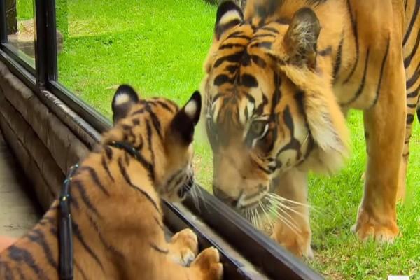Μωρό τιγράκι συναντιέται στον ζωολογικό κήπο πρώτη φορά με μια ενήλικη τίγρη και τότε συμβαίνει...Θα δακρύσετε!
