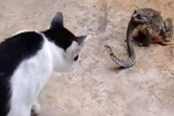 Απίστευτο: Βάτραχος καταπίνει ένα φίδι ενώ αυτό τσακώνεται με μια γάτα!