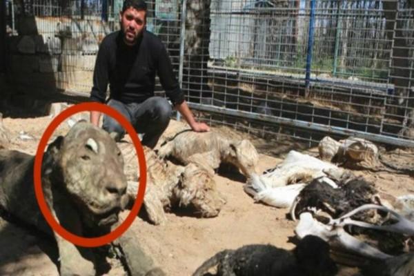 Μπήκαν στον ζωολογικό κήπο και είδαν αυτό το λιοντάρι - Δυστυχώς ήταν πολύ αργά, το κακό είχε συμβεί!