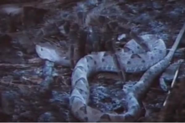 Αυτό το φίδι δέχθηκε επίθεση από μια γιγάντια αράχνη - Το αποτέλεσμα της μάχης θα σας αφήσει άφωνους!