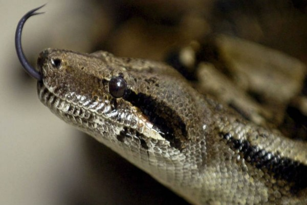 Αυτό το φίδι αξίζει Όσκαρ - Ο λόγος; Θα σας αφήσει άφωνους!