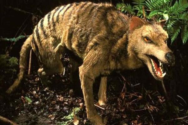 Προκαλεί τρόμο η τίγρης που είχε εξαφανιστεί από τη γη και εντοπίστηκε από επιστήμονες