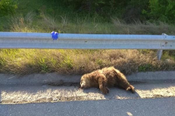 Αρκουδάκι βρέθηκε νεκρό στον δρόμο - Σοκάρει η εικόνα