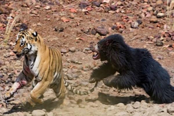 Αυτή η τίγρης πλησίασε μία μαμά αρκούδα - Αυτό που ακολούθησε θα σας αφήσει με το στόμα ανοιχτο!