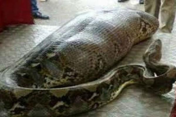 Αυτό το φίδι φαινόταν να είχε φάει κάτι περίεργο - Μόλις άνοιξαν το στομάχι του έπαθαν το σοκ της ζωής τους!