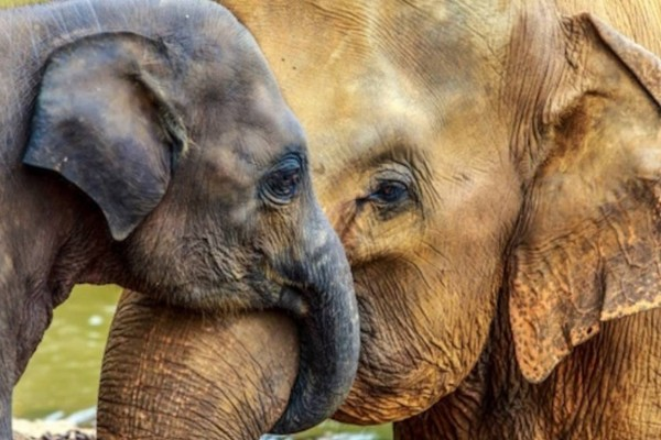 Τα περισσότερα ζώα δεν έχουν γιαγιά εκτός από τους ελέφαντες - Για έναν πολύ σημαντικό λόγο!