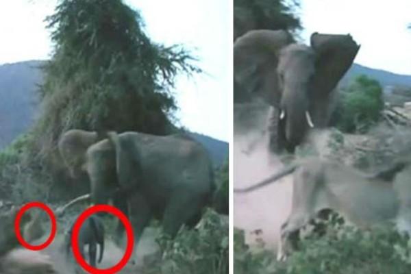 Λιοντάρι ορμάει σε ένα μωρό ελέφαντα - Η αντίδραση της μητέρας του θα σας κάνει να ανατριχιάσετε… (Video)