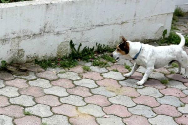 Αυτός ο σκύλος εντόπισε ένα φίδι στην αυλή του σπιτιού - Η μάχη που έγινε στη συνέχει είναι επική!