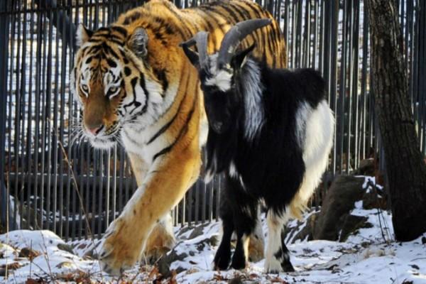 Έβαλαν μια τίγρη σε ένα κλουβί με ένα τράγο. Αυτό που ακολούθησε θα σας αφήσει άφωνους!