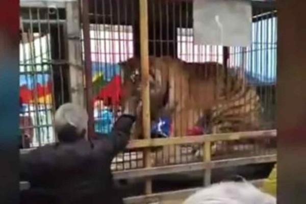 Ανατριχιαστικό: Τίγρης δαγκώνει το χέρι πάππου που πήγε να την ταΐσει! (video)