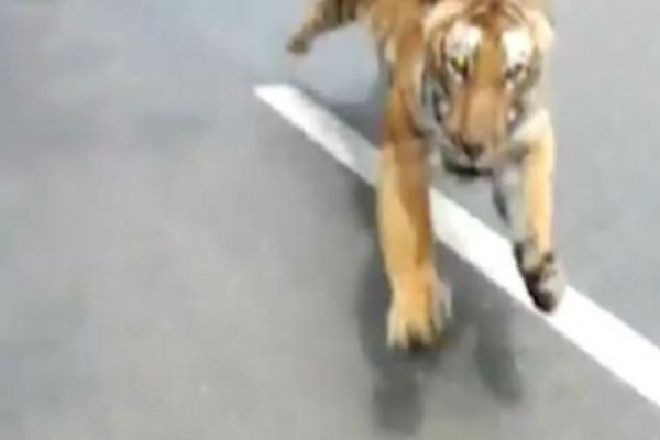 Δύο άντρες βγήκαν μια βόλτα με τη μηχανή τους όταν ξαφνικά εμφανίστηκε μια τίγρης - Αυτό που ακολούθησε θα σας κάνει να