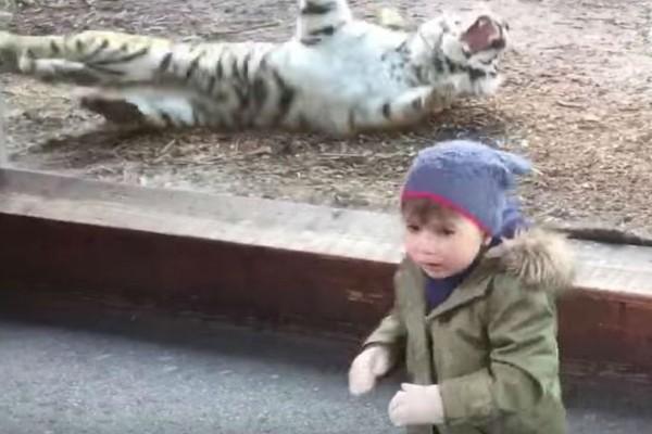 Ένα αγοράκι παρακολουθούσε μια τίγρη που κοιμόταν - Αυτό που έγινε μόλις την ξύπνησαν τον έκανε να φύγει τρέχοντας!