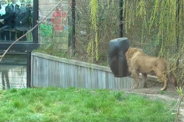 Λιοντάρι σφηνώνει σε βαρέλι - Στη συνέχεια γίνεται κάτι απίστευτο
