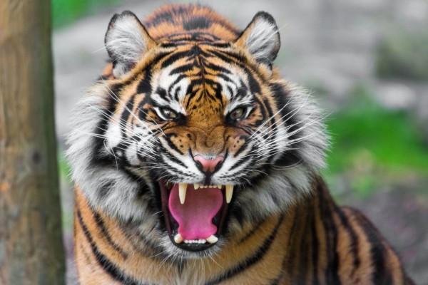 Απίστευτο: Τίγρης βρέθηκε θετική στον κορωνοϊό