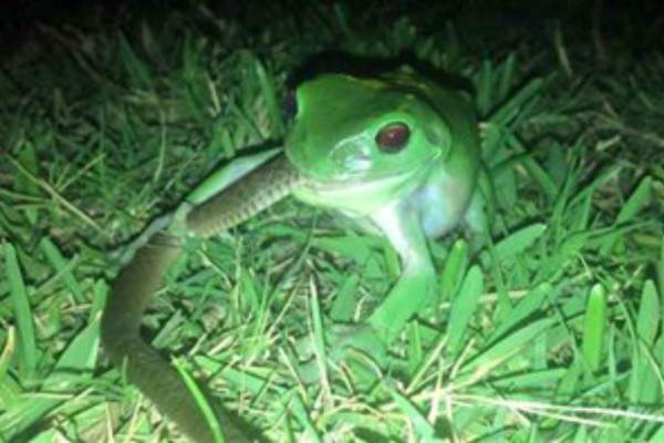 Αδιανόητο: Αυτός ο βάτραχος επιτέθηκε σε ένα φίδι - Το αποτέλεσμα της μάχης δεν το περίμενε κανείς!