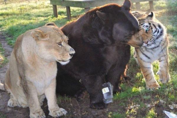 Μια τίγρης, μια αρκούδα και ένα λιοντάρι συναντήθηκαν πριν 15 χρόνια - Μόλις δείτε την ιστορία τους θα δακρύσετε