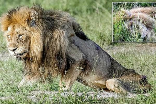 Ηλικιωμένο λιοντάρι περιφέρεται σκελετωμένο λίγο πριν πεθάνει - Η συνέχεια σοκάρει