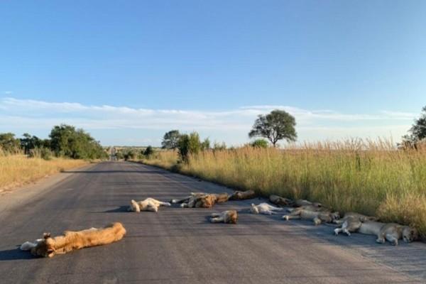Αυτή η φωτογραφία με τα λιοντάρια που είναι σαν νεκρά στον δρόμο, έχει σοκάρει - Δεν φαντάζεστε τι έκαναν