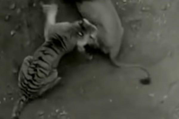 Κάμερα κατέγραψε λιοντάρι να μονομαχεί με τίγρη: Η μάχη των γιγάντων! Ποιος κερδίζει;