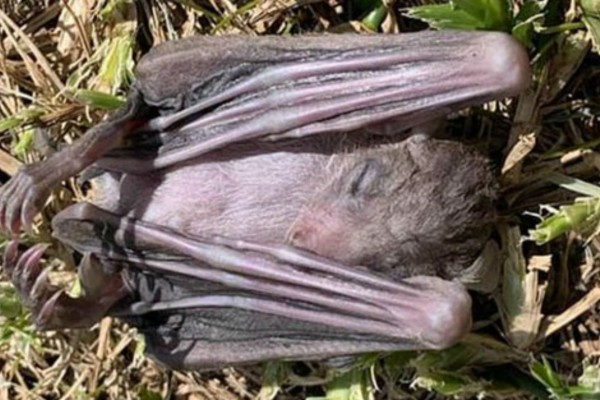 Εικόνες-σοκ στο Ισραήλ - Γέμισε από νεκρές νυχτερίδες (photo)