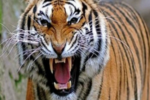Είδε μια τίγρη να επιτίθεται στην κατσίκα της και έτρεξε να τη σώσει - Αυτό που ακολούθησε θα κάνει το αίμα σας να