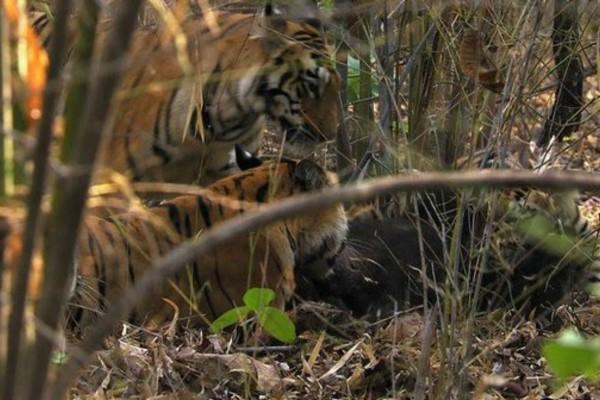 Τίγρεις κατασπαράζουν αρκούδα - Το φρικτό γρύλισμά της καθώς ξεψυχάει (Video)