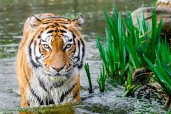 Αυτή είναι η πιο περίεργη τίγρης που έχετε δει - Το μισό της πρόσωπο είναι...