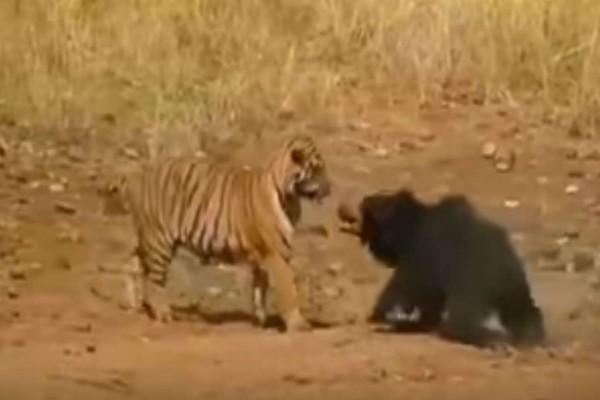 Τιτανομαχία: Μια τίγρης επιτίθεται σε μια αρκούδα - Η συνέχεια θα σας κάνει να