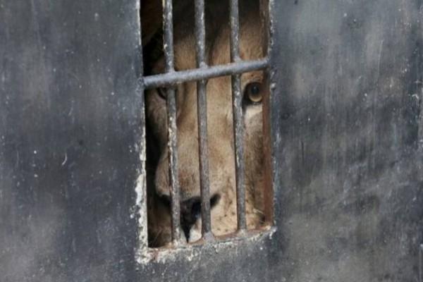 Αυτό το λιοντάρι ήταν φυλακισμένο από έναν άνδρα. Ώσπου μια μέρα πήρε την μεγαλύτερη εκδίκηση