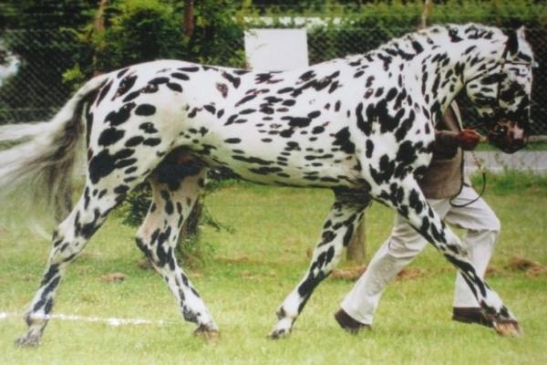 Το άλογο - τίγρης είναι το πιο σπάνιο σε όλο τον κόσμο - Οι βούλες προέρχονται από...