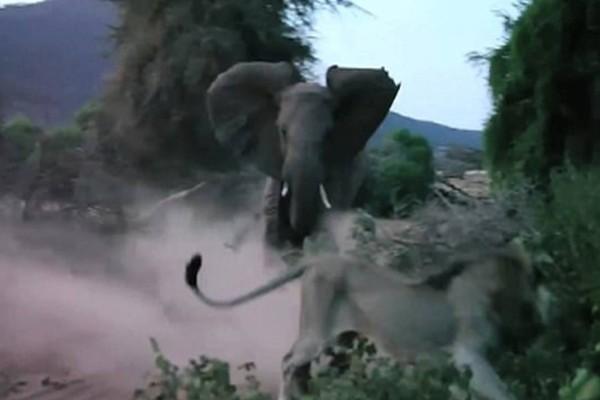 Λιοντάρι ορμάει σ' ένα μωρό ελέφαντα. Η αντίδραση της μάνας του θα σας κάνει να παγώσετε