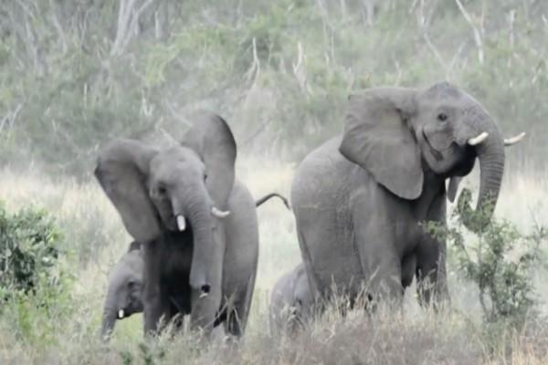 Αυτοί οι ελέφαντες τρέχουν πανικόβλητοι μέσα στο πάρκο - Μόλις δείτε τι τους κυνηγάει θα πάθετε σοκ!
