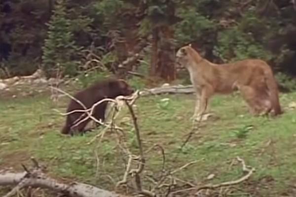 Ανατριχιαστική μάχη: Λιοντάρι Vs Μητέρα Αρκούδας που επιχειρεί να φάει το μωρό της