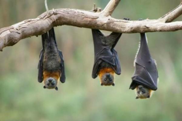 3 νυχτερίδες κάνουν διαγωνισμό για  το ποια θα πιει περισσότερο αίμα: Το ανέκδοτο της ημέρας (31/05)