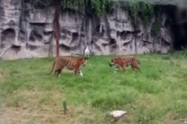 Θαρραλέος γερανός επιτίθεται σε τρεις τίγρεις - Αυτό που ακολούθησε θα σας κάνει να ανατριχιάσετε