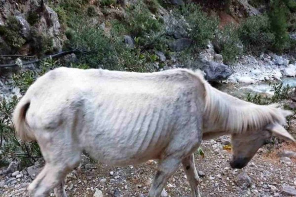 Σοκαριστικές εικόνες: Σκελετωμένα μουλάρια λιμοκτονούν σε φαράγγι - Δείτε πως βρέθηκαν τα εγκαταλελειμμένα ζώα