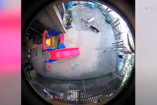 Κάμερα καταγράφει 2 σκυλιά να θυσιάζονται για να σώσουν ένα μωρό από επίθεση φιδιού - Η κατάληξη ραγίζει καρδιές