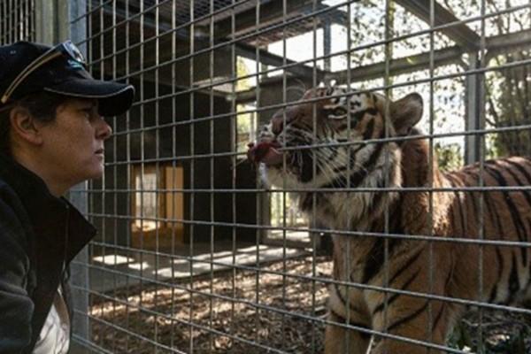 43χρονη πήγε να καθαρίσει το κλουβί μιας τίγρης - Αυτό που ακολούθησε θα σας σοκάρει!