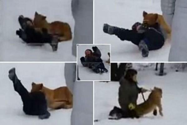 Λιοντάρι επιτίθεται σε ένα αγοράκι - Το έριξε στο χιόνι και...